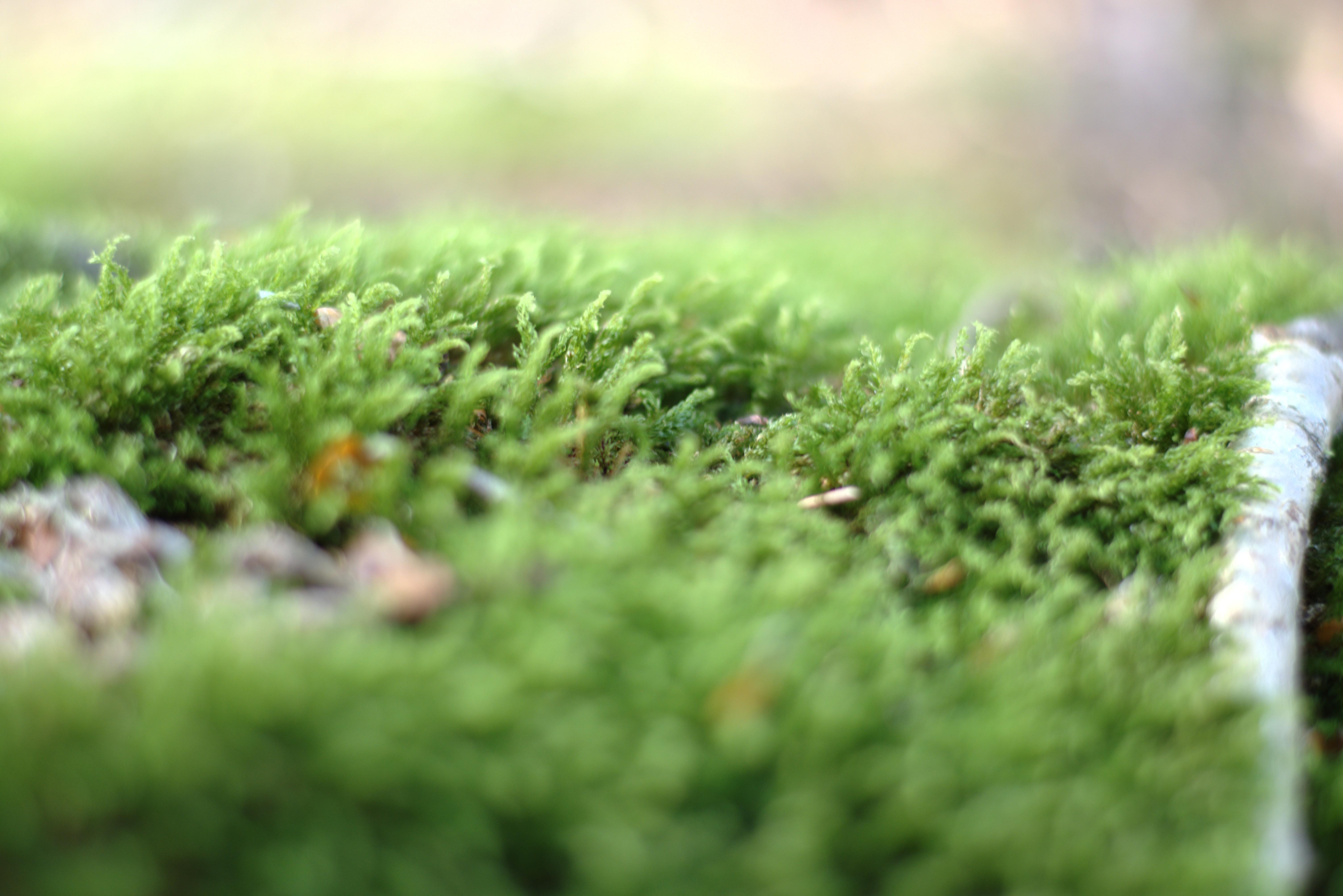 Nærbillede af mos på en gren