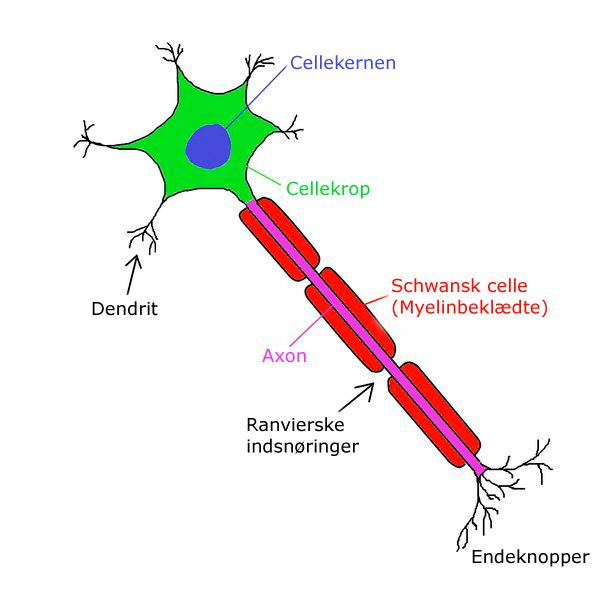 Optegning af en neuron